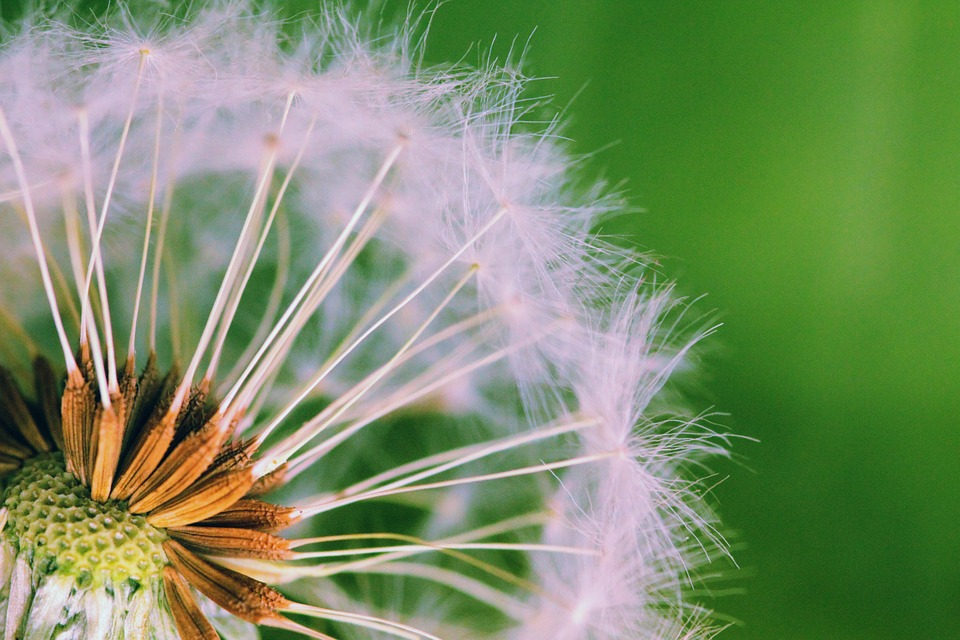 Close up of colorful dandelion.