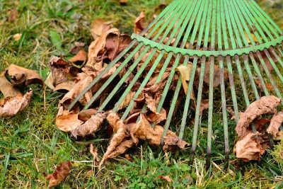 An old steal rake, raking leaves.